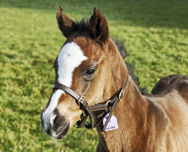 Million euro mare returns to Goffs