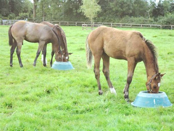 Feeding young horses for sales