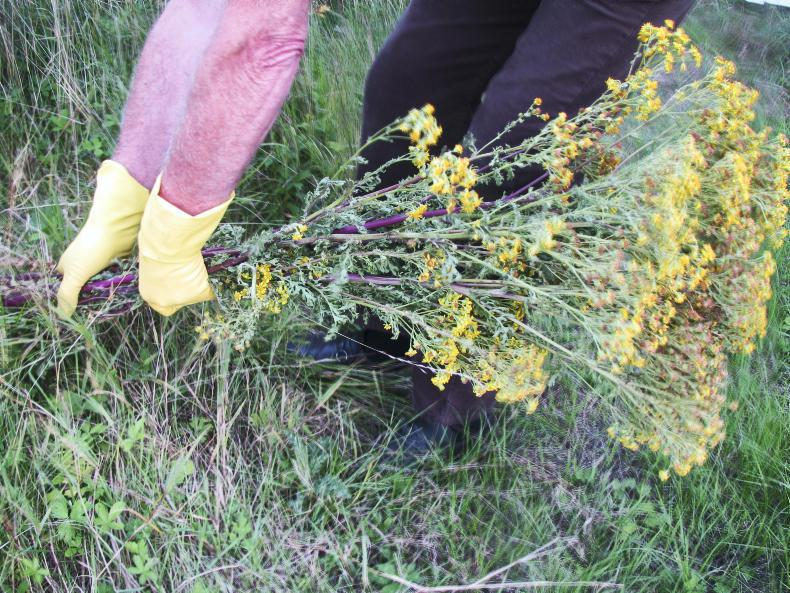 HORSE SENSE WEEKLY TIPS: How to combat ragwort