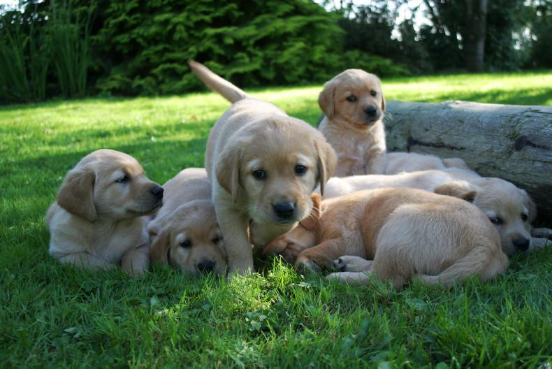 DOG FEATURE: Irish Guide Dogs