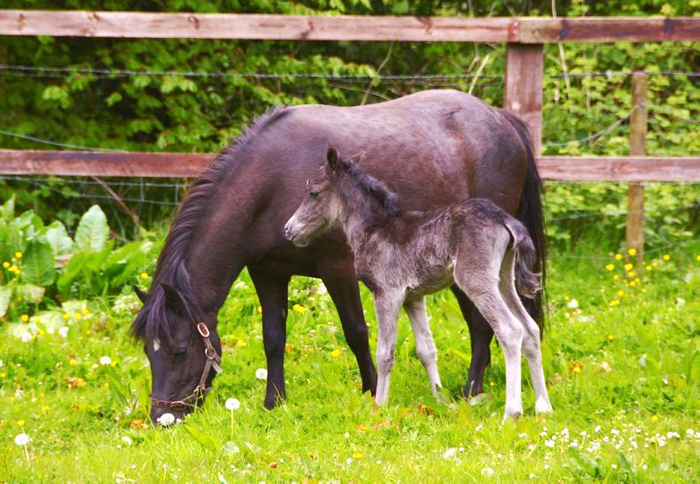NEWS:  Offaly move for Kerry Bog Pony National Show