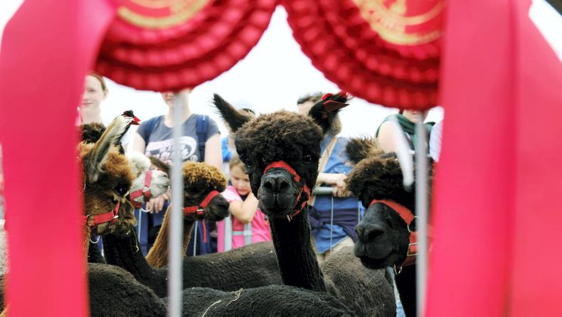 PONY TALES: 60,000 expected at Tullamore