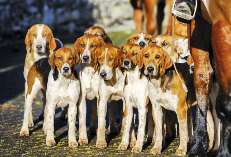 HUNTING FEATURE: Letting hounds run for the first time in the new season