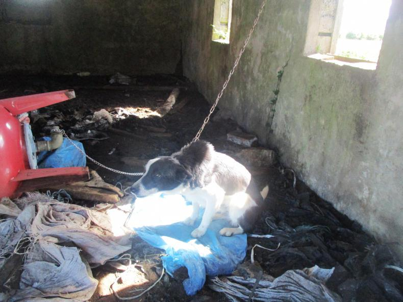 NEWS:  Man convicted after almost 40 dogs found chained and neglected