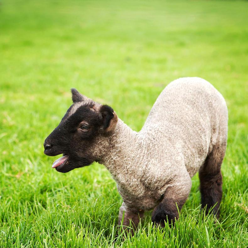 NEWS:  ISPCA warns dog owners over sheep attacks
