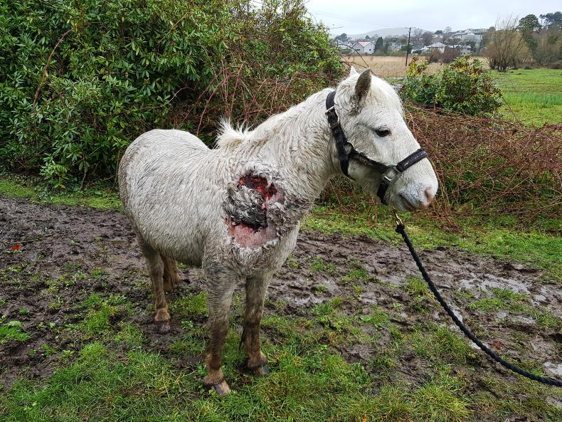 NEWS:  Injured pony recovering from severe wound