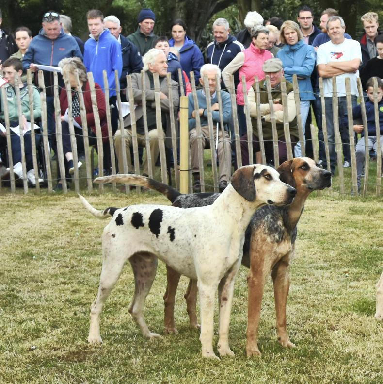 STRADBALLY HOUND SHOW:  Over 500 hounds bound for Stradbally