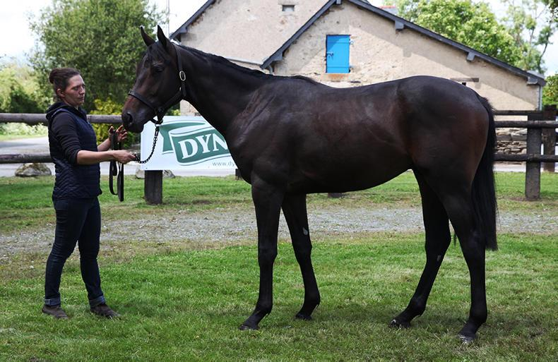 ARQANA LUMET SHOW AND SALE: Son of Falco leads the way