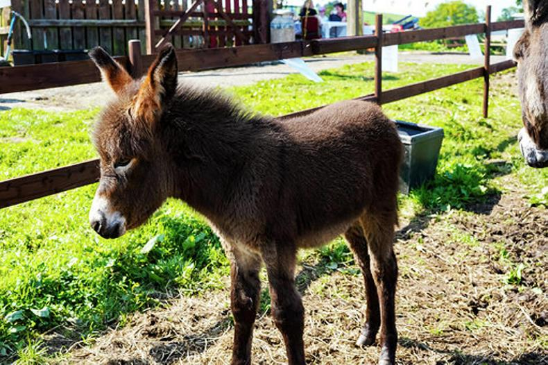 AROUND THE COUNTRY:  Over 200 attend Donkey Fest