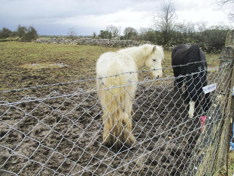 PONY TALES: ISPCA to rehome rescued ponies