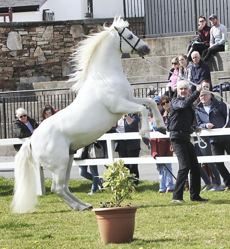 PONY TALES:  Virtual Connemara Pony stallion parade