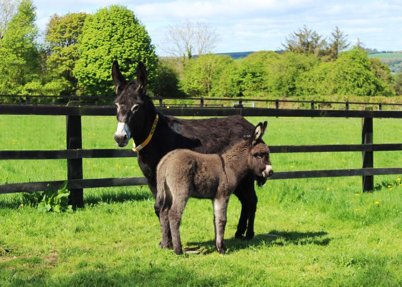 PONY TALES:  Big welcome to little 'Lockie'