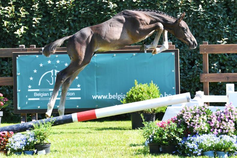 SALES: Successful start of the first part for Belgian Foal Auction