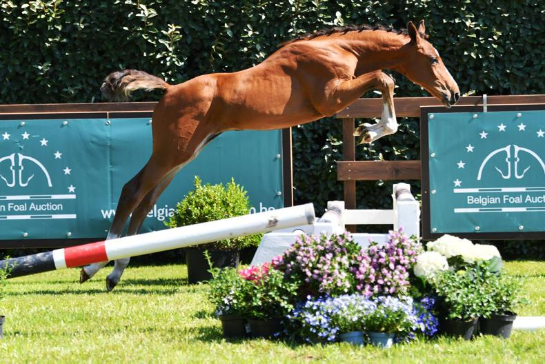 SALES: Strong end to second part of Belgian Foal Auction