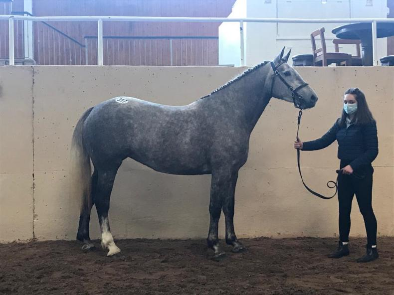 CAVAN SALES: Scrapman mare fetches €5,500 as Draught trade improves