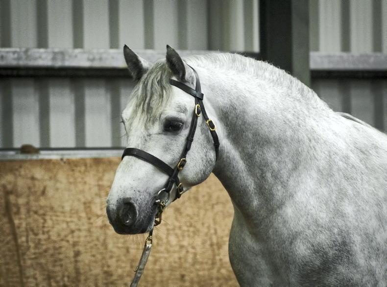 NEWS: 17 Connemara Pony stallion achieve Class 1 status