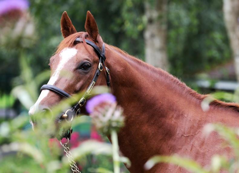 SIRE FOCUS: Decorated Knight