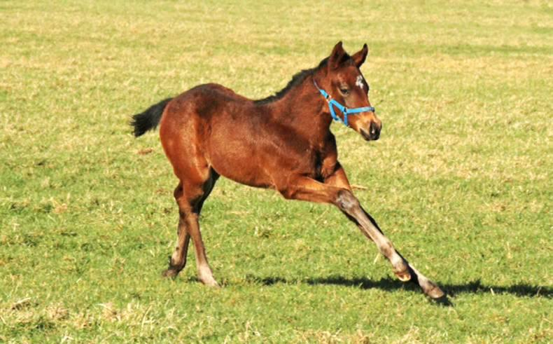 FOALING 2016: Foaling season at Oghill House Stud