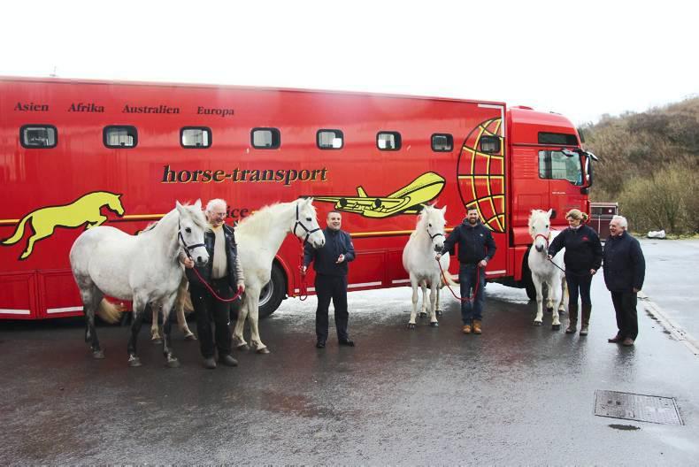 Connemara herd exported to South Korea