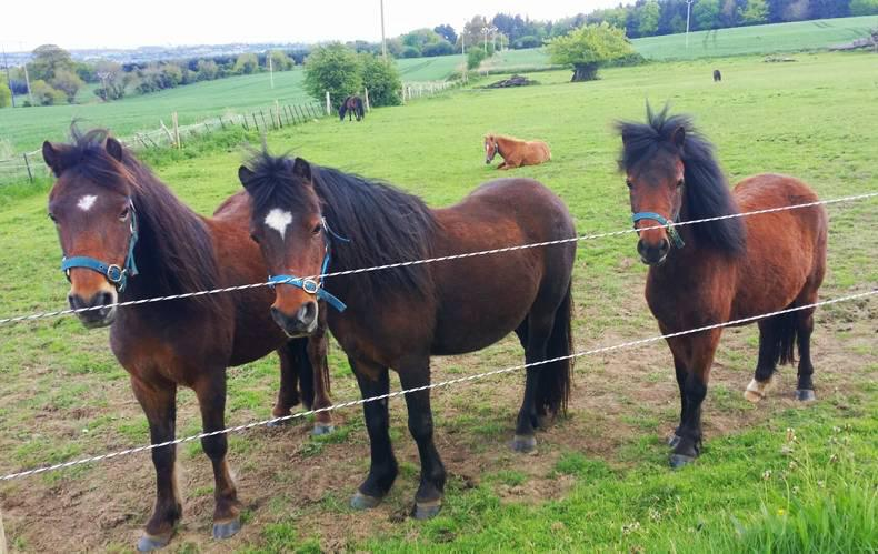 Showtime for ancient Kerry Bog Pony breed