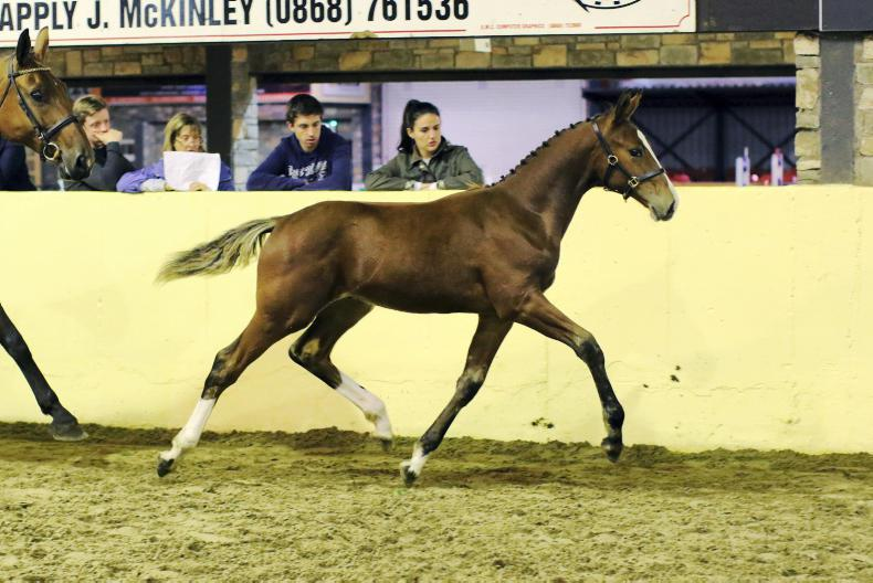 World class pedigrees come to fore in HSI foal championships at Cavan