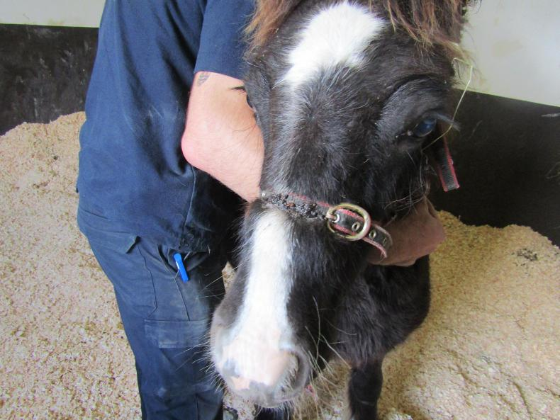 Foal recovering from embedded headcollar wounds