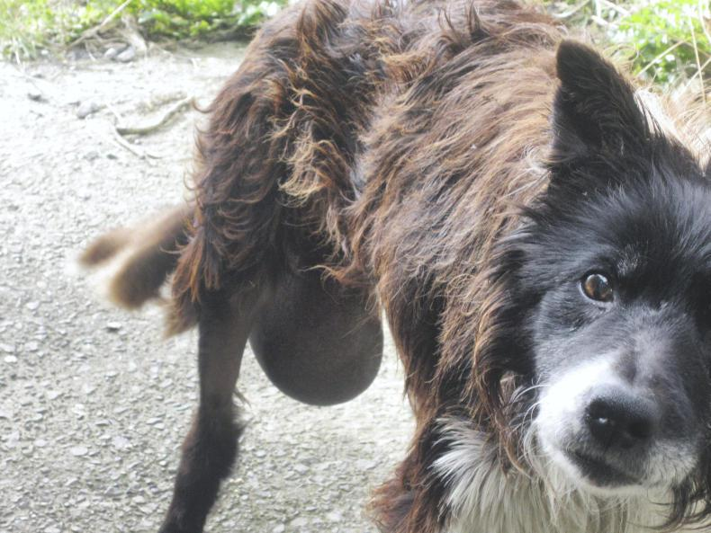 Carlow man fined for neglecting sick dog