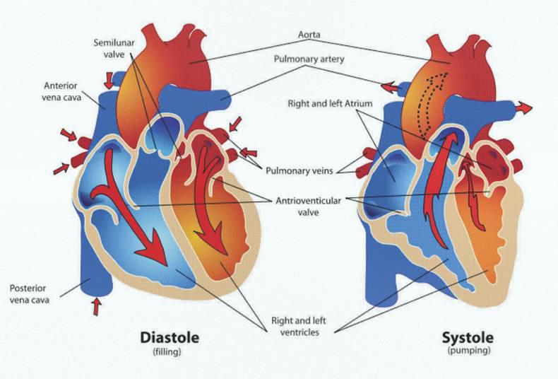 Horse Heart Anatomy Gallery Human Anatomy Diagram Organs