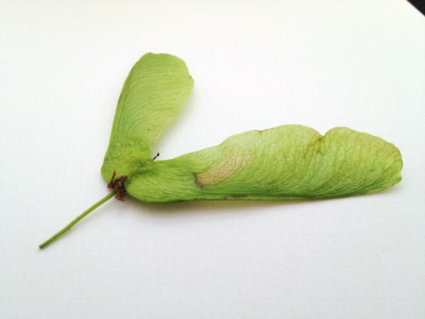 Atypical myopathy causes 20 horse deaths