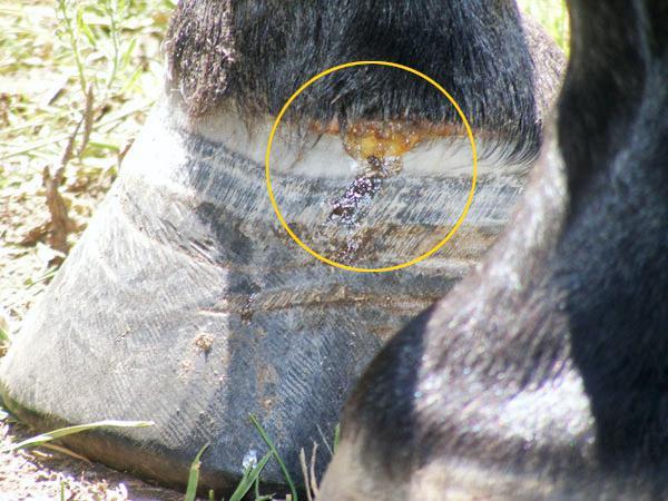 Hands On: Hoof abscess in horses