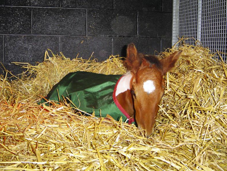HANDS ON:  Rhodococcus Equi in foals