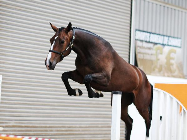 Quality stock qualified for Dublin loose jumping