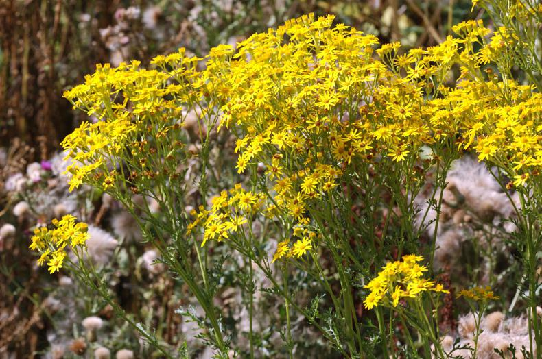 HORSE SENSE: Ragwort on the rise