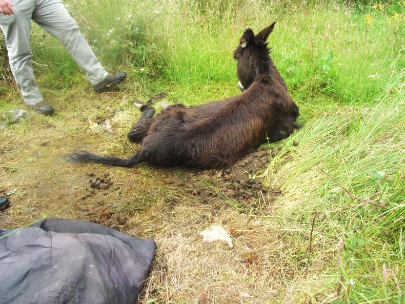 NEWS:  Rescue donkey now recovering well