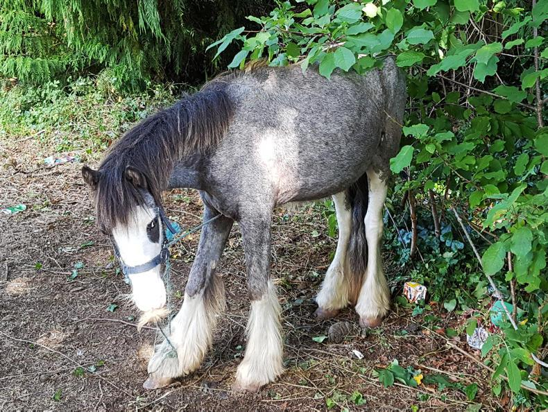ISPCA NEWS:  Tethered and thin cob seized in Bray