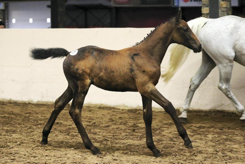CAVAN ELITE FOAL SALE: Casall foal tops sale at €28,000