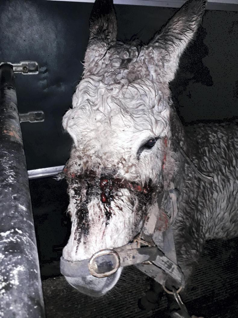 NEWS:  Donkey rescued with terrible head collar injuries
