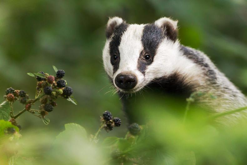 Creed announces vaccination of badgers as part of bovine TB eradication plan