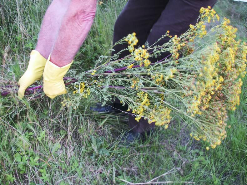 GRASSLAND MANAGEMENT:  Maximise grass growth by removing weeds
