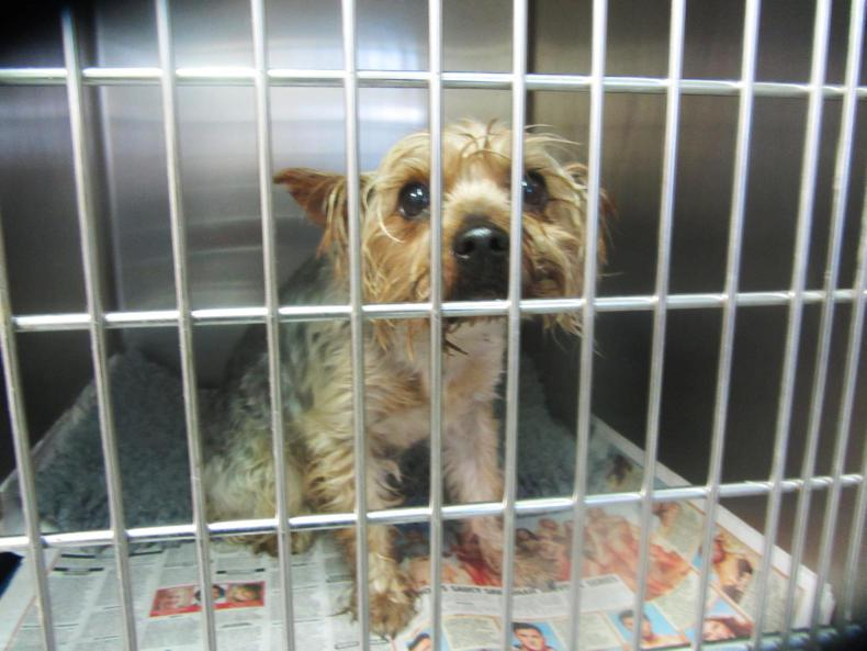 Yorkie dog found in a zipped plastic bag and left in a laneway